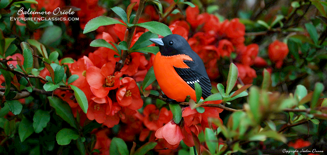Baltimore Oriole with quince blossoms.