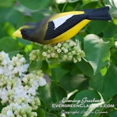 Evening Grosbeak in the white lilac bush.