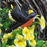 Robin in flight over yellow Petunias.
