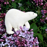 Polar Bear in the Lilacs