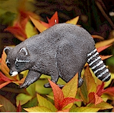 Raccoon walking through autumn leaves.