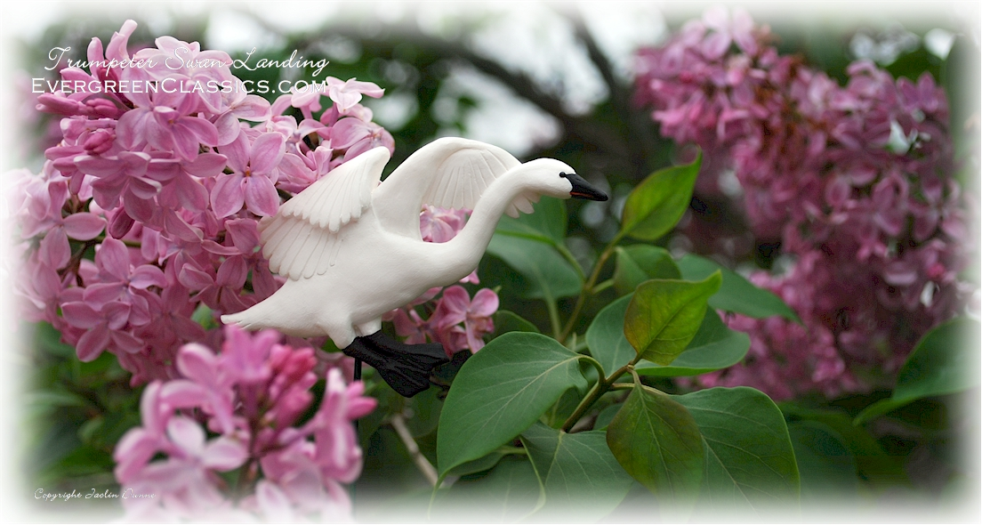 Trumpeter Swan landing atop the lilacs.